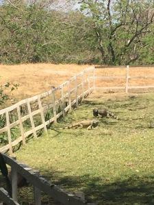 Dueling Iguanas at El Viejo